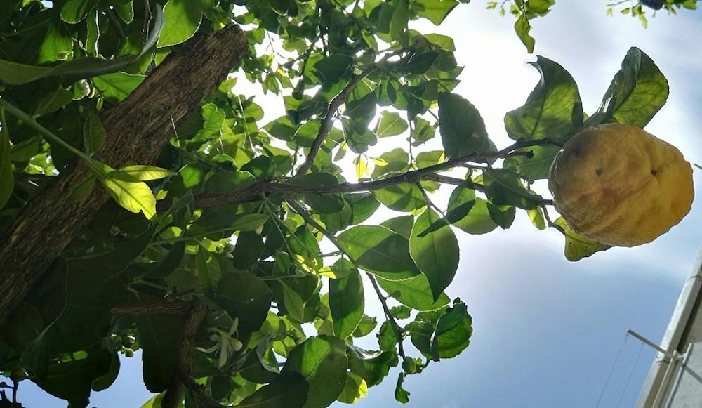 Il nostro limoneto a pochi chilometri da Amalfi