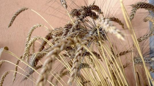Spighe di grano coltivato nel Cilento