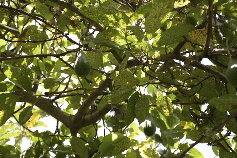 Cosa mangiano in Perù - pianta di avocado